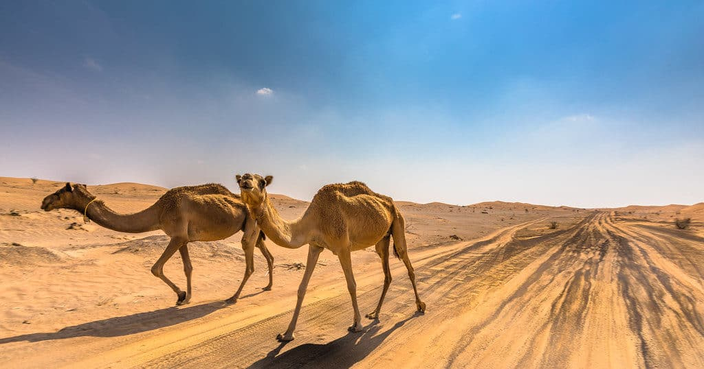 What Animals Live in Dubai - Camel | The Vacation Builder