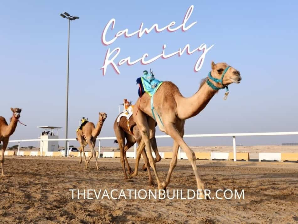 Camel Racing in Dubai | The Vacation Builder