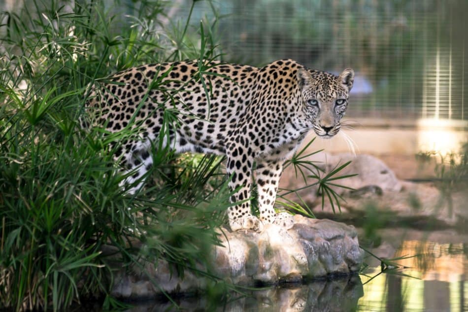 What Animals Live in Dubai - Arabian Leopard | The Vacation Builder