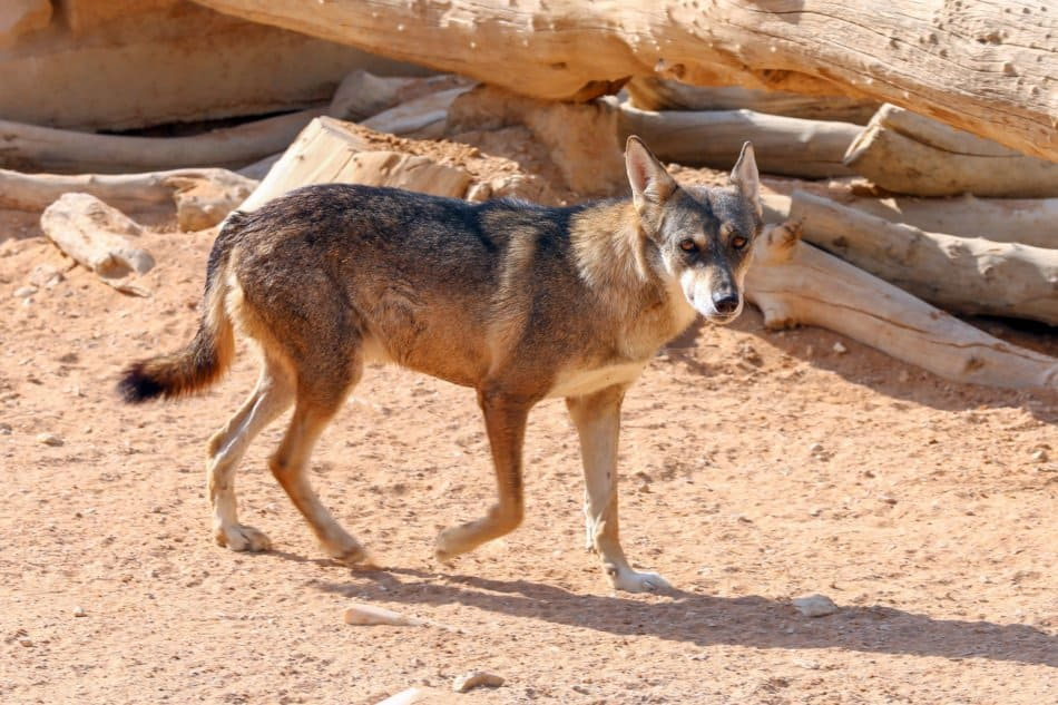 What Animals Live in Dubai - Arabian Wolf | The Vacation Builder