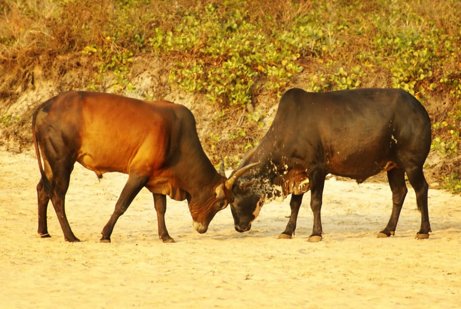 What is in Fujairah - Bull Butting | The Vacation Builder