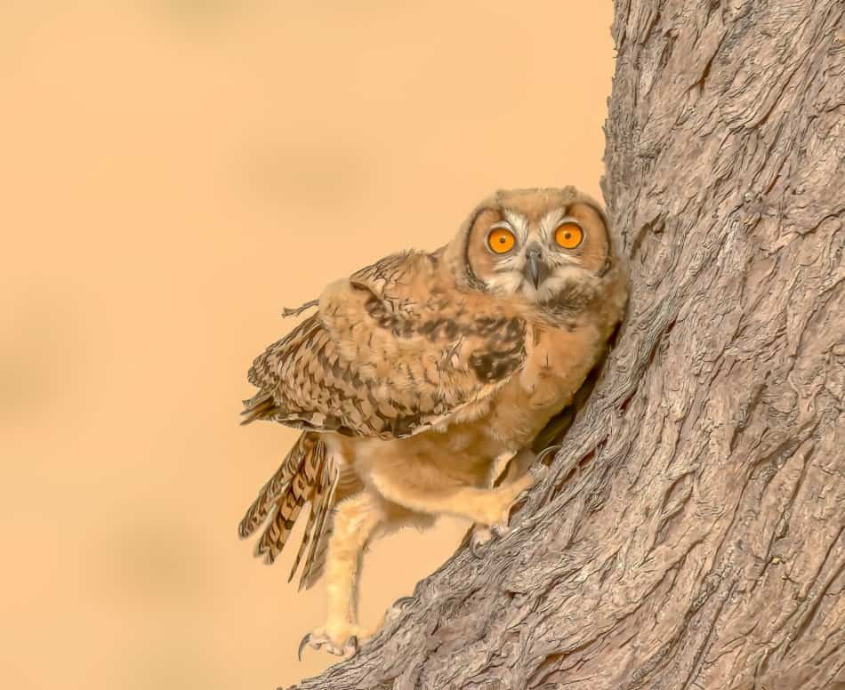 What Animals Live in Dubai - Desert Eagle Owl | The Vacation Builder