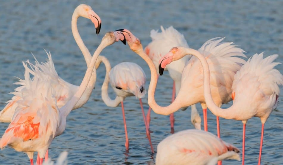 What Animals Live in Dubai - Flamingo | The Vacation Builder