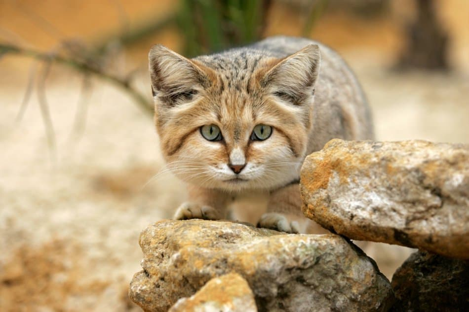 What Animals Live in Dubai - Sand Cat | The Vacation Builder