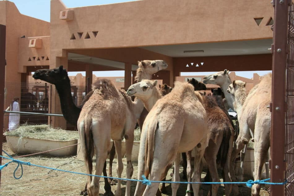 Free Things to do in Abu Dhabi - Al Ain Camel Souk   The Vacation Builder
