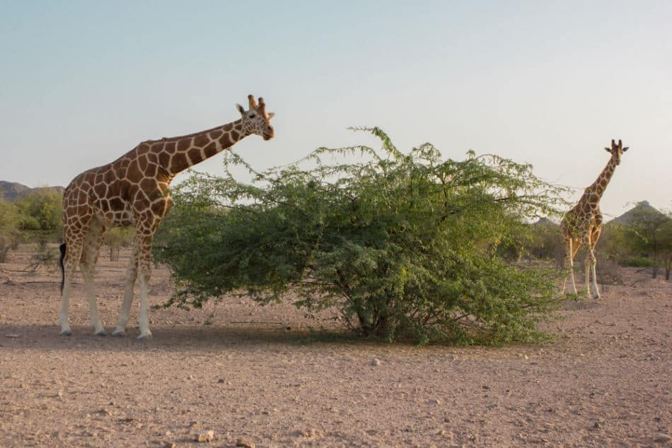 Best Places for Wildlife in Abu Dhabi and Dubai - Sir Bani Yas Island   The Vacation Builder