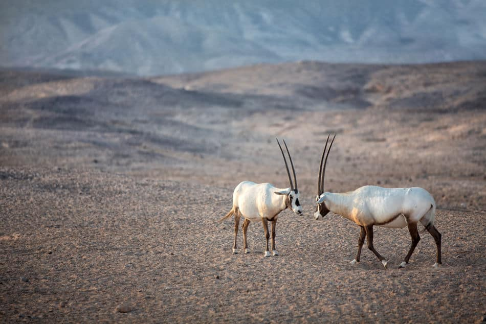 What do Arabian Oryx Look Like   The Vacation Builder