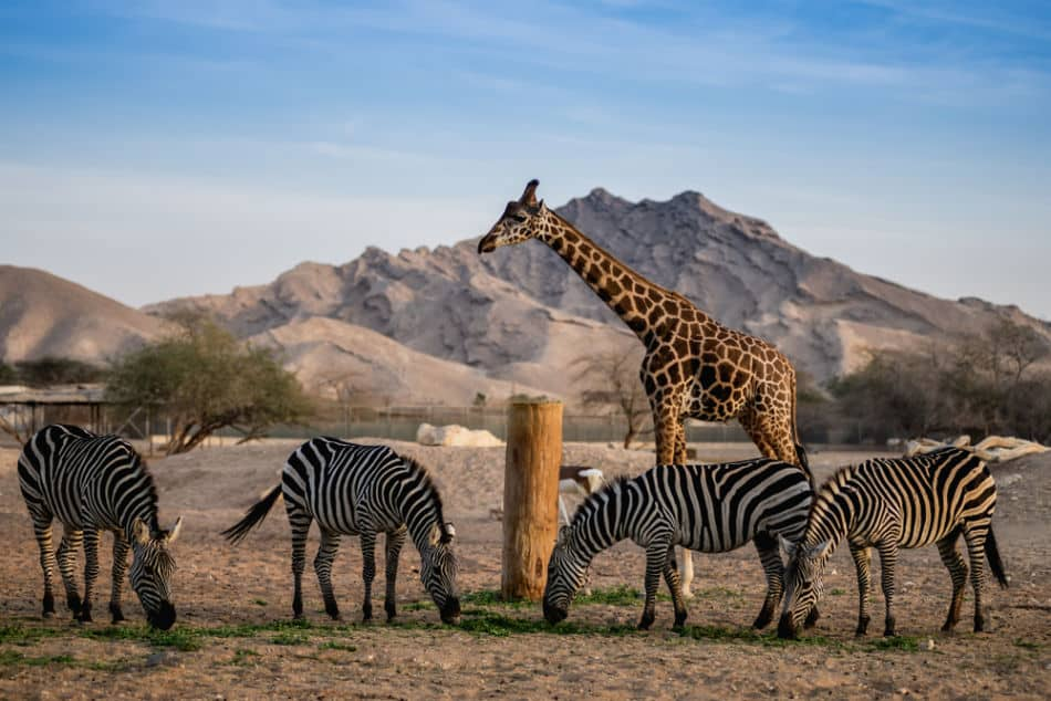 Best Places to See Wildlife in Abu Dhabi and Dubai - Al Ain Zoo   The Vacation Builder