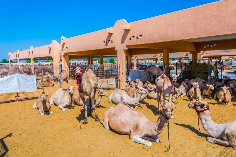 10 Reasons to Visit Al Ain - #10 Camel Market | The Vacation Builder